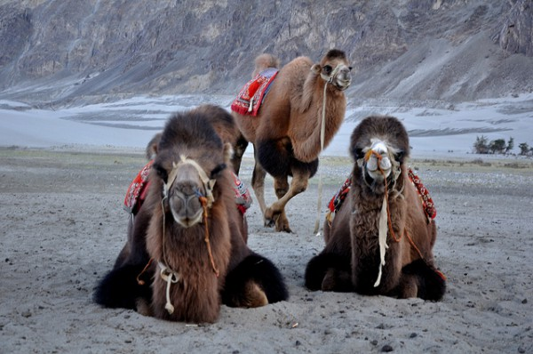 Die 10 schönsten Reiseziele in Nordindien - Kamele in Hunder, Nubra Tal