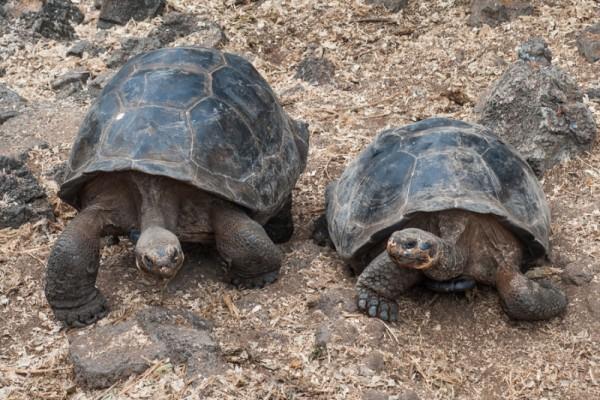 Turtle - Galapagos