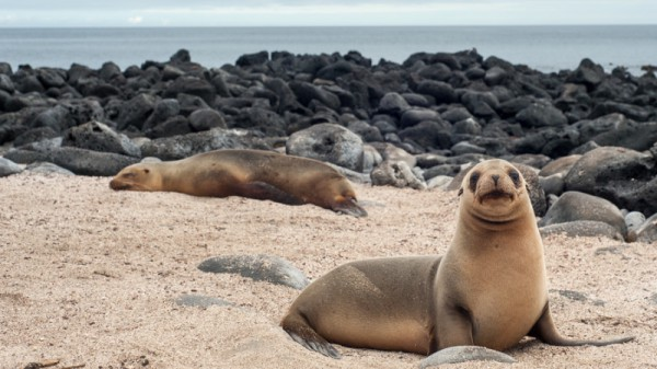 Sea lion - Galapagos