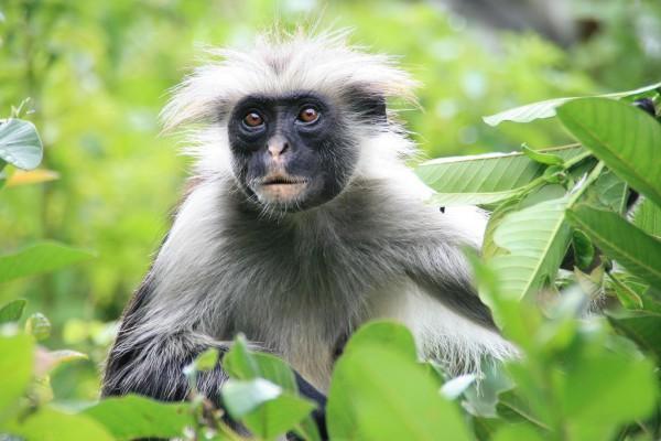 Die Top 10 Erlebnisse für Abenteurer auf Sansibar - Stummelaffe Jozani Forest